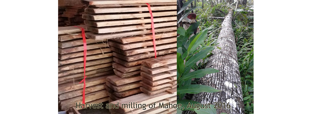 August 2016 Mahoe (Hibiscus elatus) available