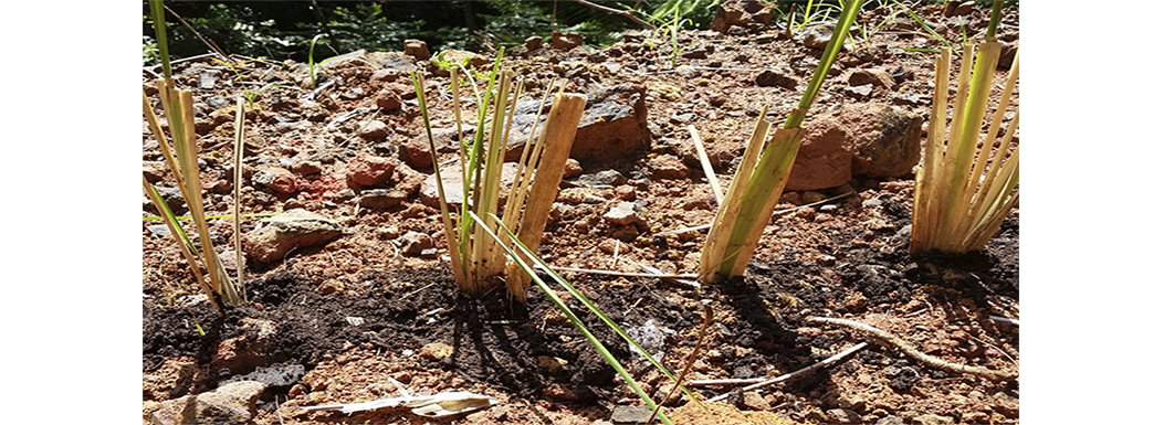 Planting Vetiver – July 2017